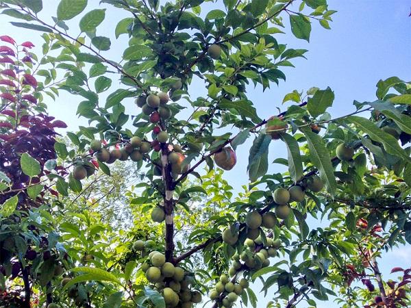 Roubování více druhů ovoce na jeden strom