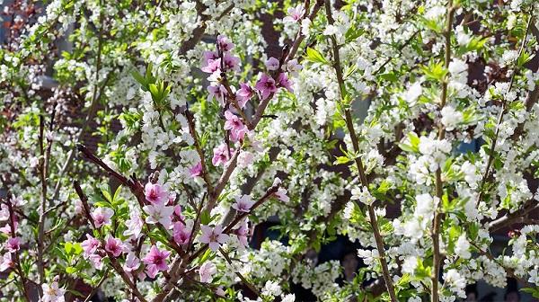 Roubování peckovin květ
