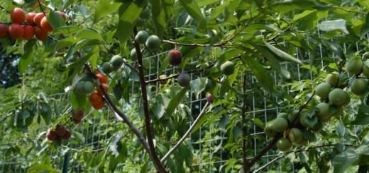 roubování 40 druhů ovoce na jeden strom
