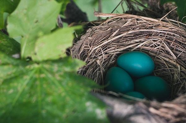 Ptačí vejce tyrkysová.